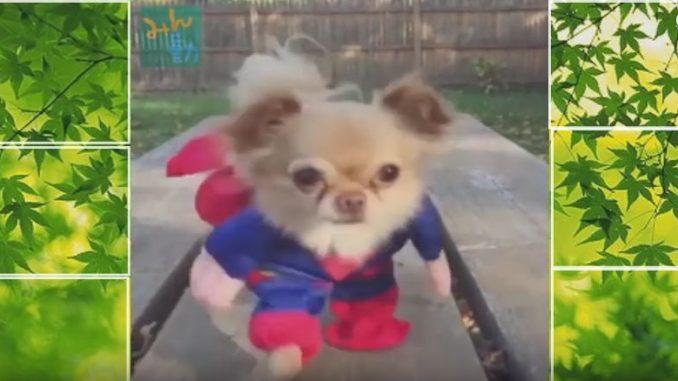 スーパーマンのように二足歩行で駆け寄る犬