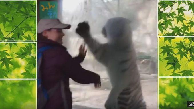 人間の手の動きを真似する白クマ
