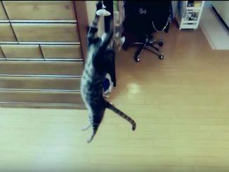 天井から垂らしたネズミのおもちゃに向かって垂直跳び