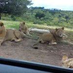 恐怖!サバンナのライオンがクルーのドアを開けてしまった瞬間
