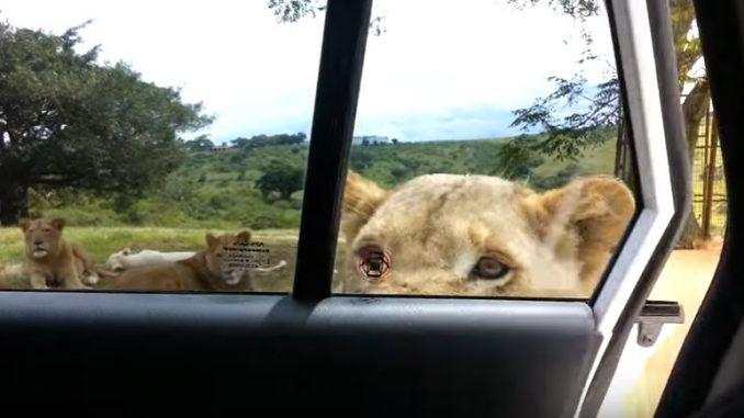 ライオンが車のドアを開けてしまう恐怖の瞬間!