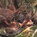 親ウサギがヘビに復讐!怒ったウサギはここまで闘える