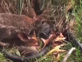 ウサギがヘビに飛びかかり死闘が始まります