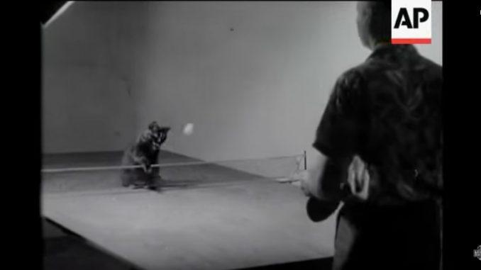 ご主人が打った卓球のボールを打ち返す猫