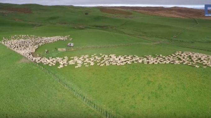 まるで羊の群れが織りなすアート