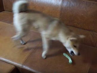 ねこじゃらしで遊び始める柴犬シバチャ