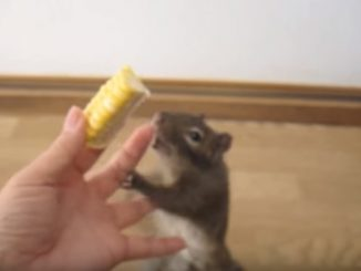 イワリスは早くトウモロコシを食べたくて飛び付かんばかり