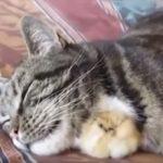 そうなっちゃいます?ネコと仲良しのヒヨコ、成長すると…