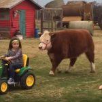 超キュート!子牛を引っ張るちびカウガール