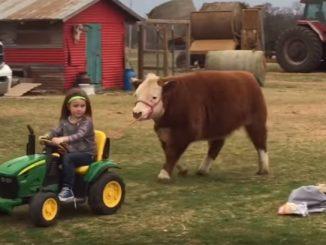 子ども用のトラクターで牛をぐいぐい引っ張る女の子