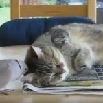 邪魔しないで!ハトに起こされるも眠くて起きないネコ