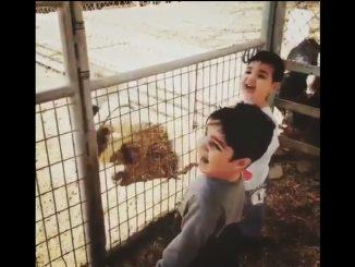 ヤギが頭を打ち付ける様子を見て笑う男の子たち
