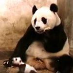 リアクション芸!赤ちゃんパンダのくしゃみに驚くお母さんパンダ