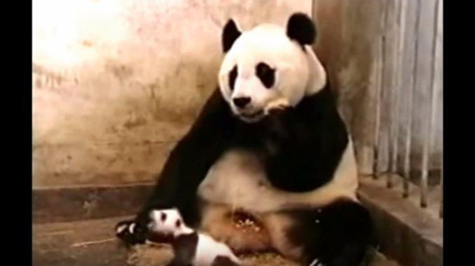 赤ちゃんパンダが大きなくしゃみ