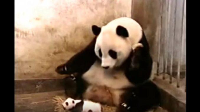 赤ちゃんパンダのくしゃみに驚くお母さんパンダ