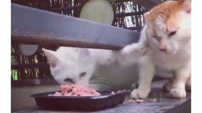 別のネコを押しのけてエサにかぶりつくネコ
