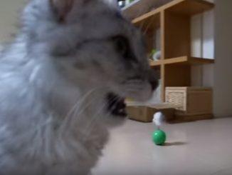 飼い主の足でフレーメン反応するネコ