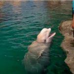 イルカの妊娠期間、歯の数って知ってる?シロイルカの生態を見てみよう