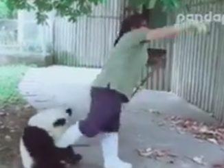 飼育員の足にまとわりつくパンダ