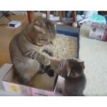 一瞬ブチ切れ?子ネコのパンチに本気になりかける父ネコ